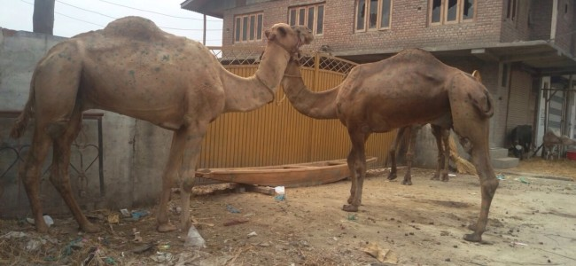 Camel sacrifice attracts limited people in Kashmir
