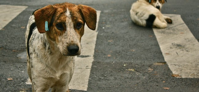 Stray dogs attack and injure six in Uri, two including minor shifted to Srinagar