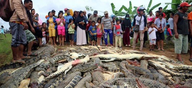 Almost 300 crocodiles slaughtered in revenge attack in Indonesia