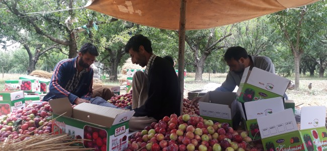 Plum is getting ready to be in market, harvesting begins