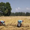 Against official advisories not to sow paddy, Budgam hopes better Kahrif harvest