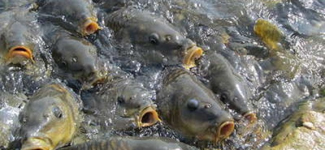 JK produces mere 13% of the required fish production