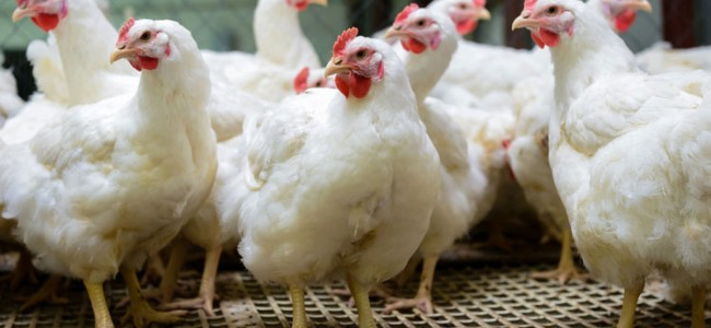 J&K imports poultry worth Rs 1000 crore every year, poultry estate coming up at Tral